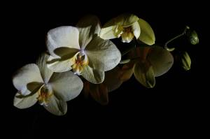 5th September 2011 - Orchids in the Dark